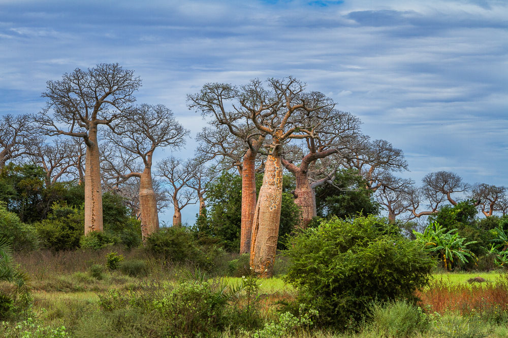 Baobabs of Madagascar 54