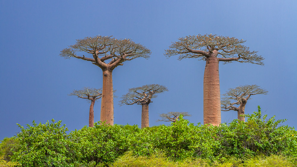 Baobabs of Madagascar 55