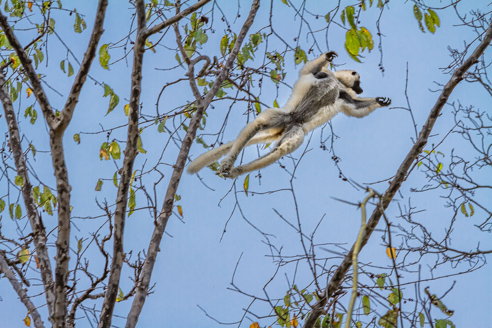 Madagascar Wildlife Lemur jumping 45