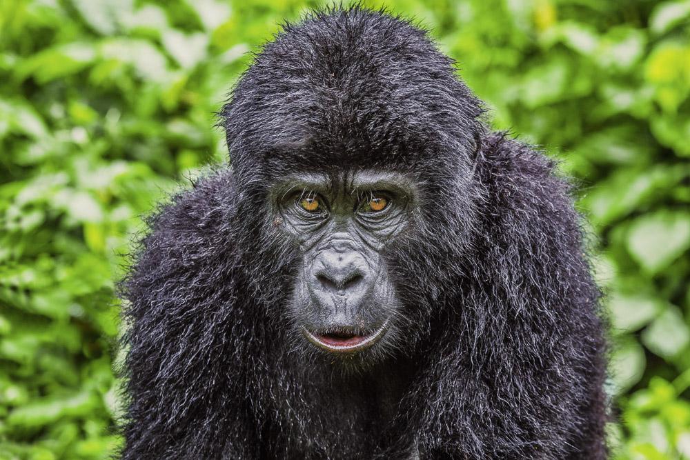 12 Things To Know About Mountain Gorilla Trekking in Uganda